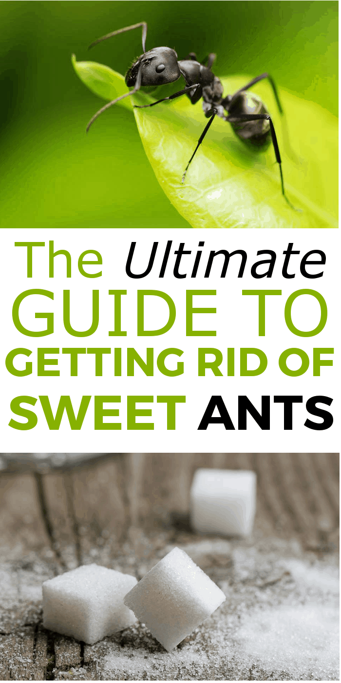 How to get rid of sweet ants, the ultimate guide